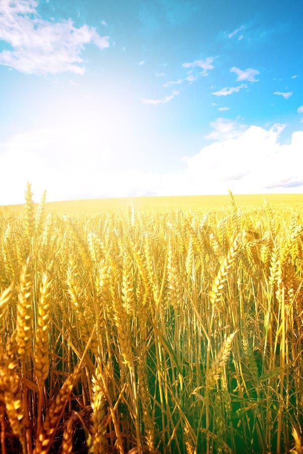 Пшеница в солнце раннего утра с голубым небом в предпосылке стоковое изображение