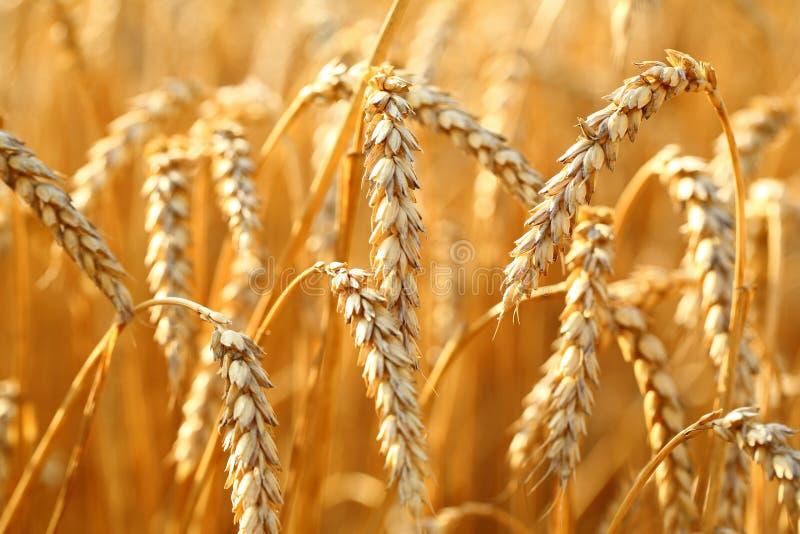 Download пшеница лета поля дня горячая Стоковое Изображение - изображение насчитывающей лето, closeup: 41655047
