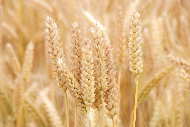 Пшеница лета стоковые изображения