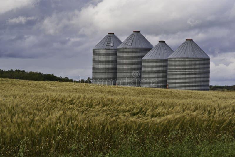 пшеница зерна поля ящиков стоковое изображение rf