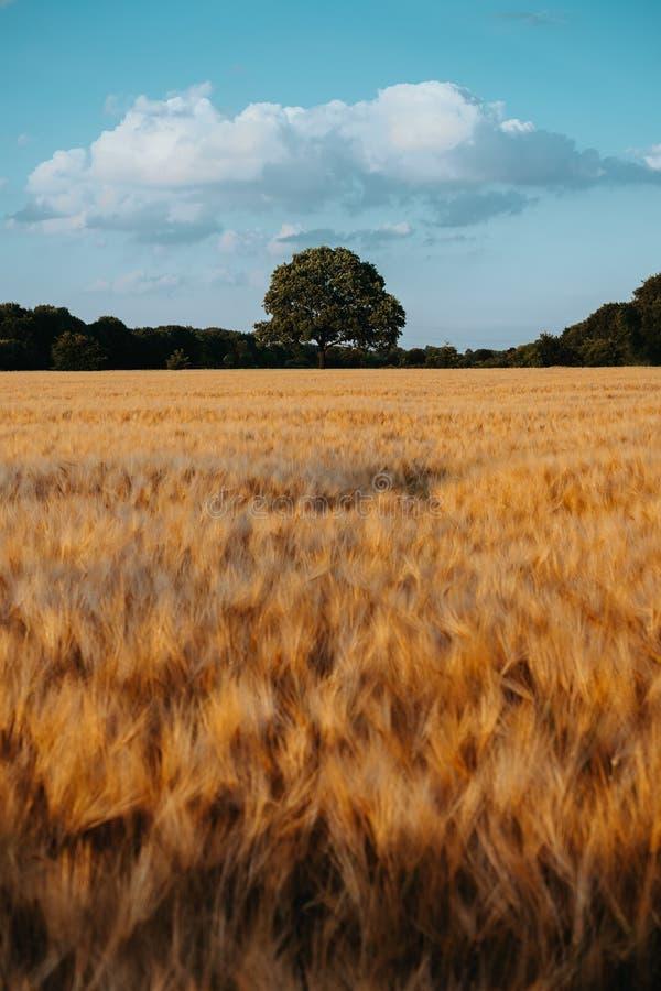 Пшеница золота летела с дубом в среднем и голубом небе с белыми облаками на свете захода солнца, сельской сельской местности стоковое изображение rf