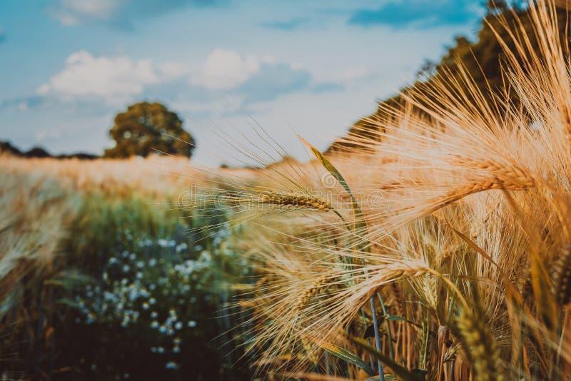 Пшеница золота летела с дубом на свете захода солнца, сельской сельской местности стоковые изображения rf