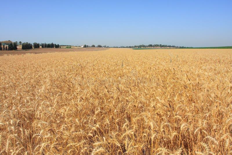 пшеница Израиля поля стоковые изображения rf
