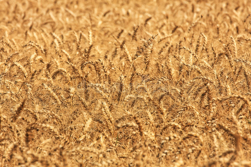 пшеница Израиля поля стоковые фото