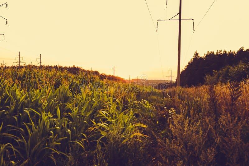 Пшеница и кукурузные поля на заходе солнца около леса против предпосылки Беларуси неба градиента, Grodno стоковые фото
