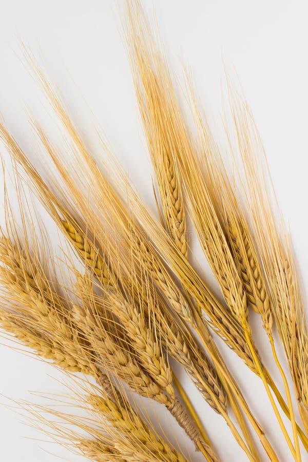 Пшеница и ячмень на белой предпосылке стоковые изображения