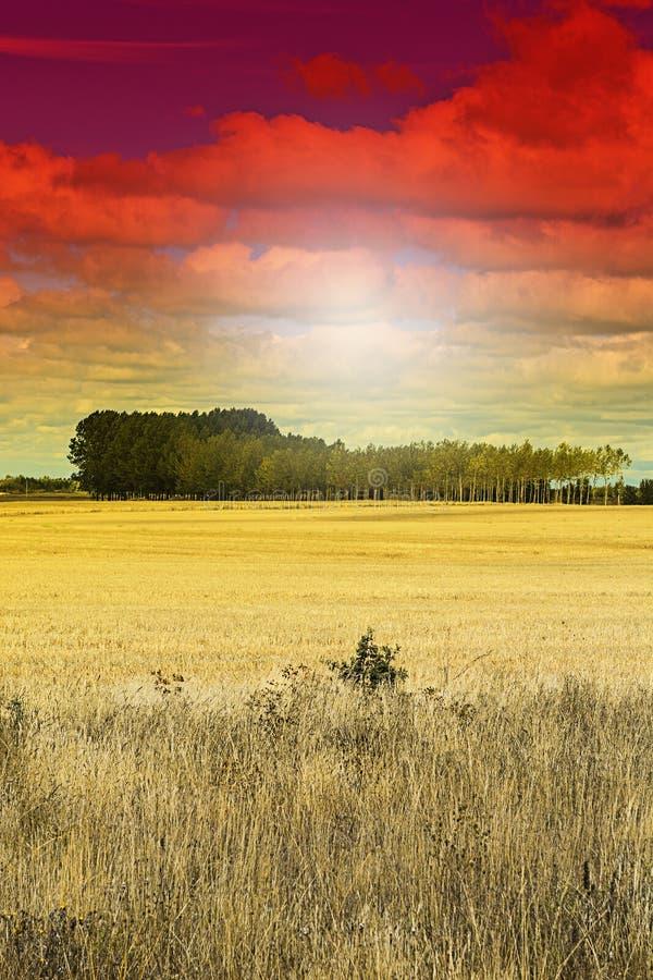 Пшеница, который летели на заход солнца стоковая фотография rf