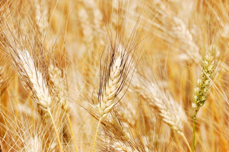 пшеница крупного плана золотистая стоковая фотография