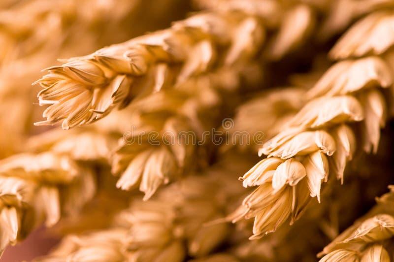 пшеница крупного плана стоковая фотография rf
