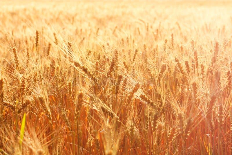 пшеница лета поля вечера стоковые изображения rf