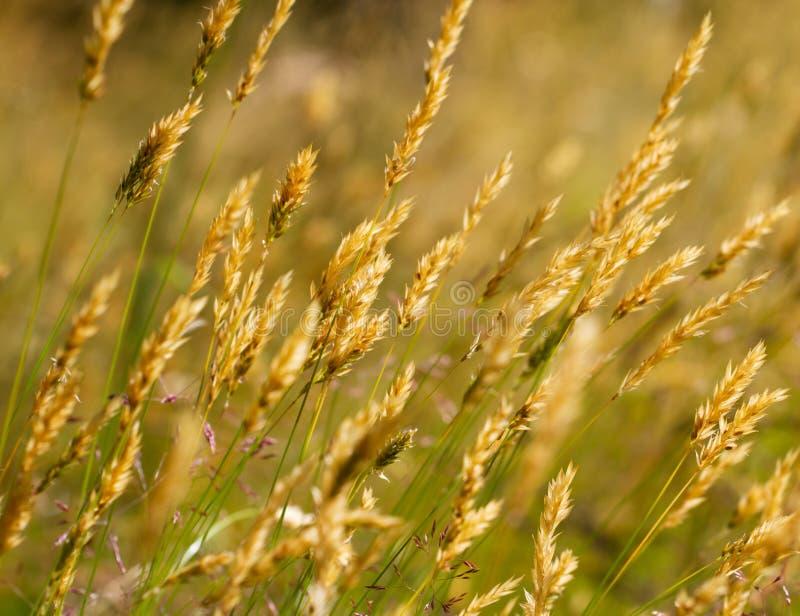 пшеница лужка травы одичалая стоковое изображение