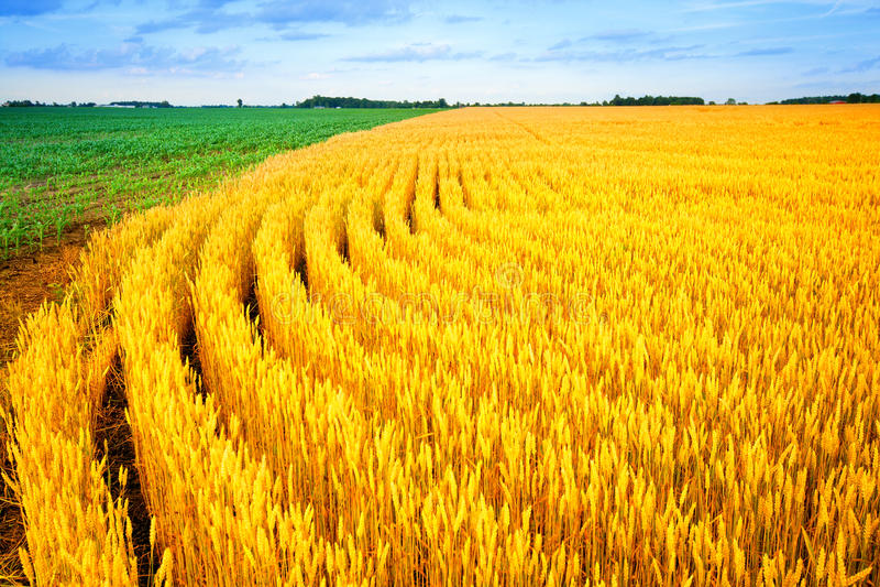 пшеница мозоли Стоковые Фото