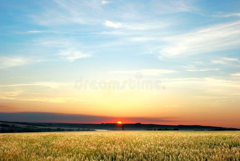 пшеница ночи поля стоковые фотографии rf
