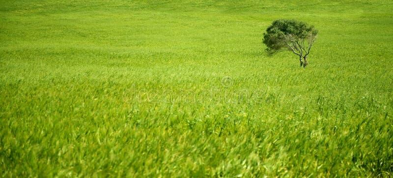 пшеница оливкового дерева поля зеленая стоковые фото