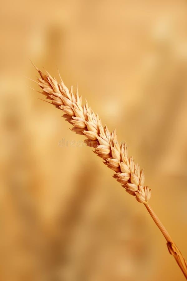 пшеница пара стоковые фотографии rf