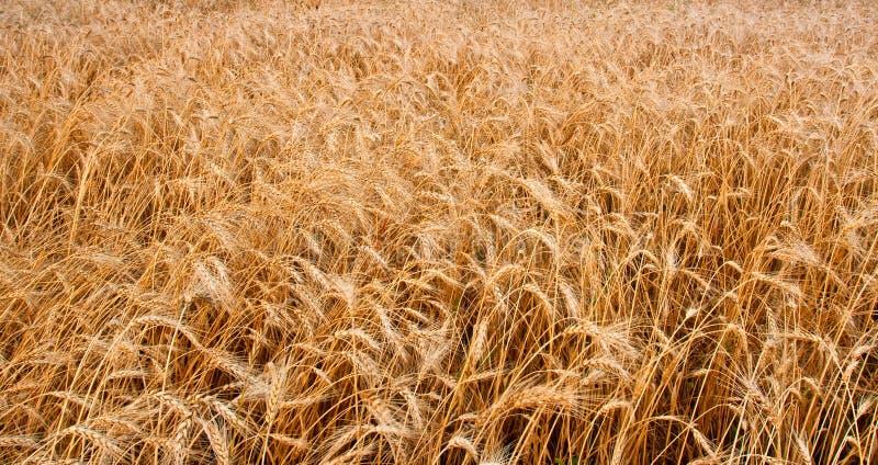 пшеница поля горизонтальная стоковая фотография rf