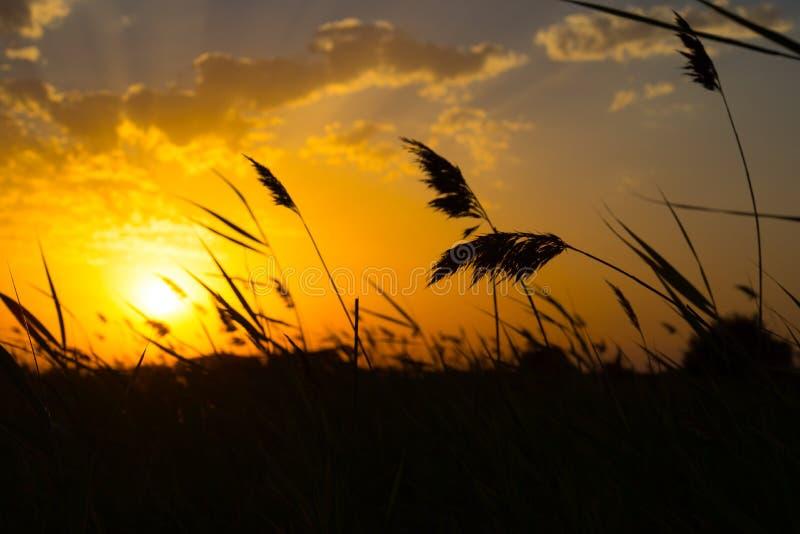 пшеница поля ушей золотистая Свет захода солнца Закройте вверх по взгляду стоковая фотография rf