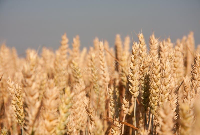 пшеница поля стоковая фотография rf