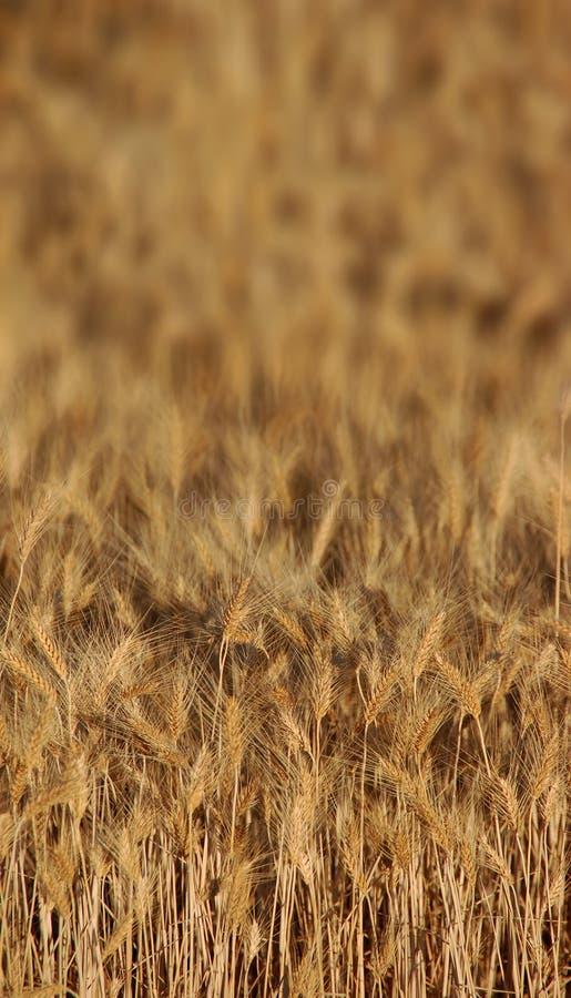 пшеница предпосылки стоковые фотографии rf