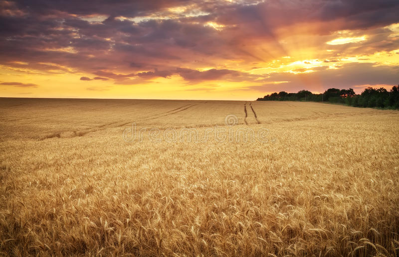 пшеница природы лужка состава стоковое изображение