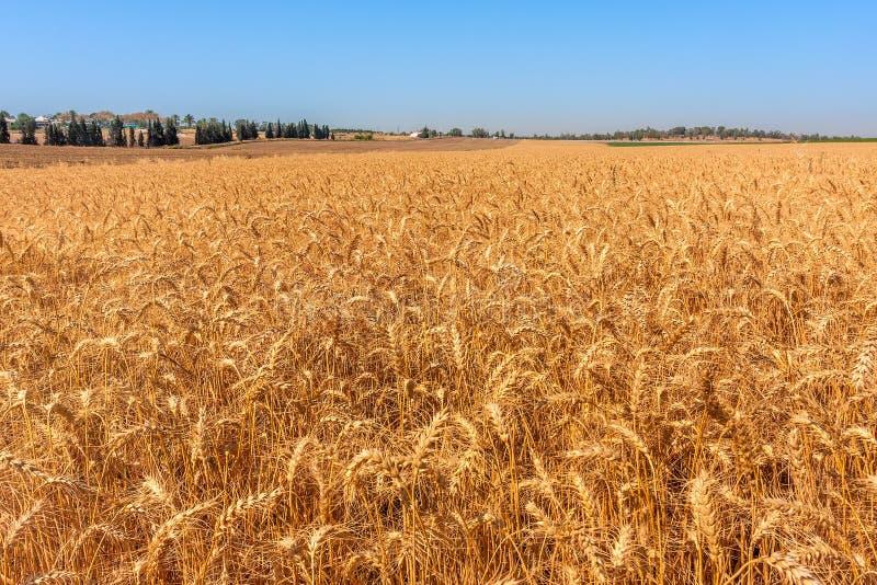 Пшеница растет на поле стоковая фотография