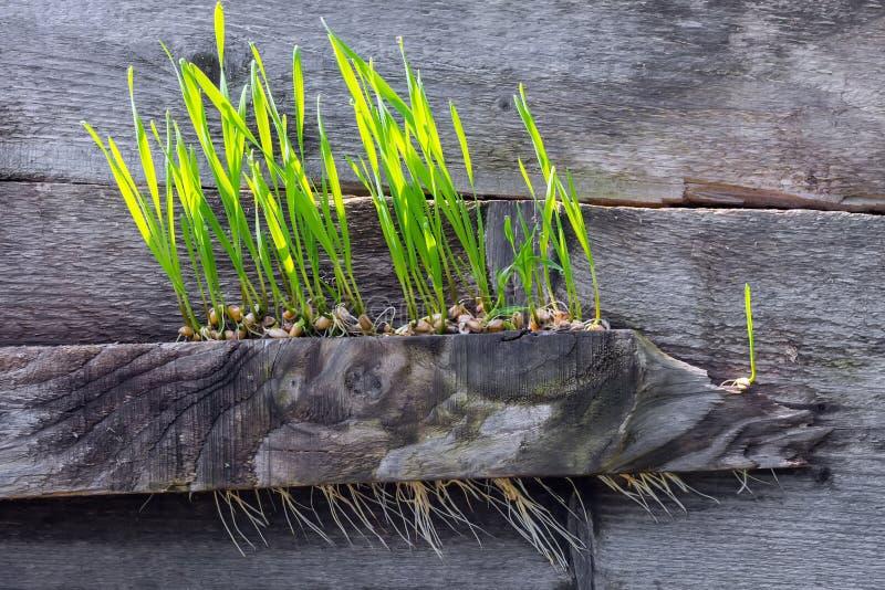 Пшеница, случайно разбрасываемая на ростки доск, пусканных ростии и сформированных сильные Концепция второго рождения, новая жизн стоковые изображения rf