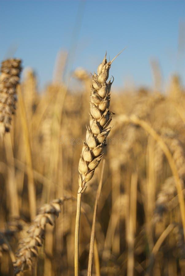 пшеница спайка стоковое фото rf
