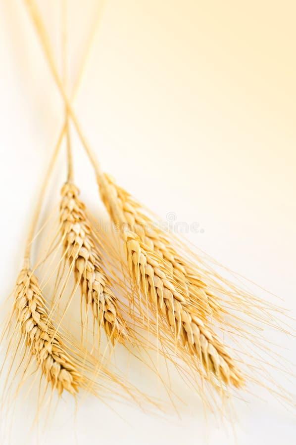 пшеница ушей стоковые фотографии rf