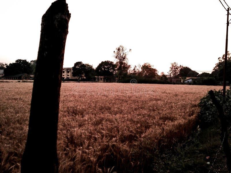 Пшеница фермы стоковая фотография rf