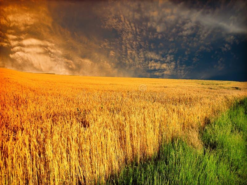 пшеница шторма поля стоковое фото rf