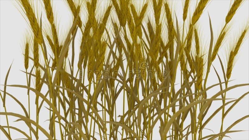 Пшеница, ячмень, мозоль на белой предпосылке, полеводческом растении видеоматериал