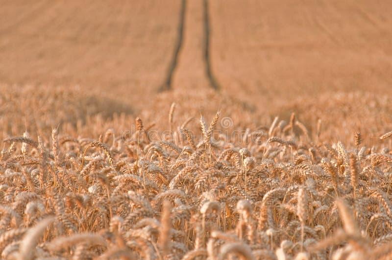 пшеница 2 полей золотистая стоковое фото