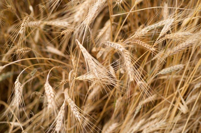 Download пшеница стоковое изображение. изображение насчитывающей урожай - 482329