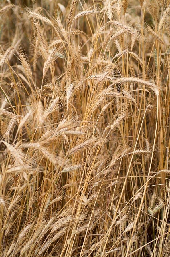 Download пшеница стоковое изображение. изображение насчитывающей пшеница - 482369