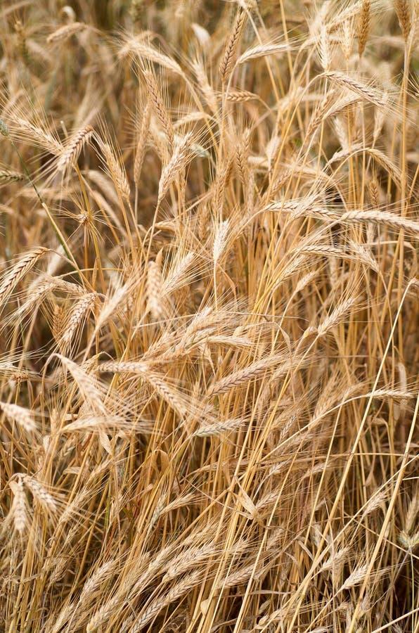 Download пшеница стоковое фото. изображение насчитывающей флора - 482412