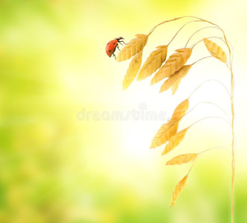 пшеница ladybug травы сидя стоковые изображения rf