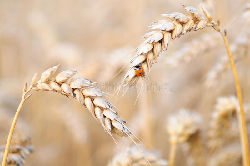 пшеница ladybug стоковые изображения rf