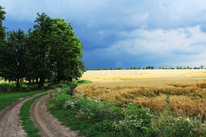 Пшеничное поле в дожде стоковое фото rf