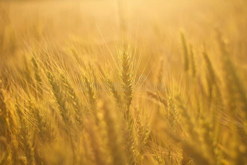 Пшеничное поле в золотом солнечном свете стоковое изображение rf