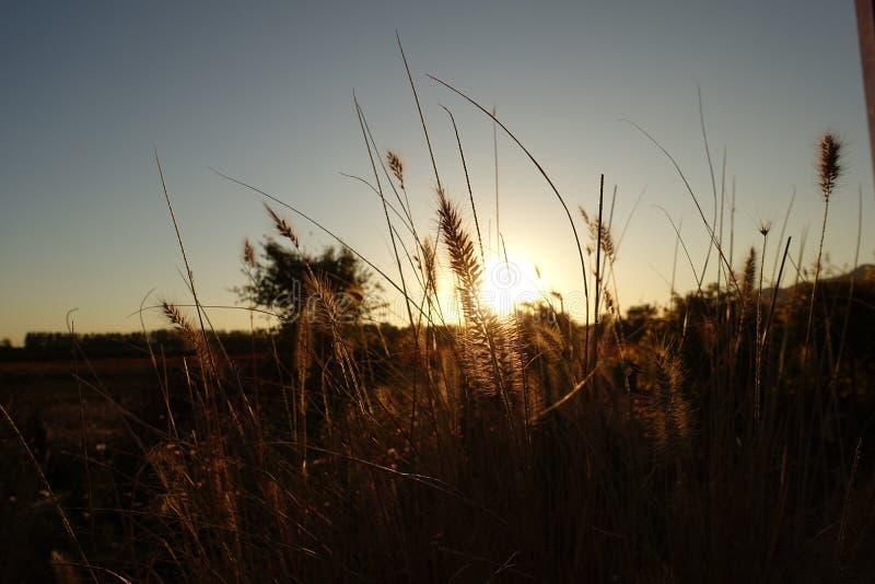 Пшеничное поле в пригородах Пекин стоковая фотография rf