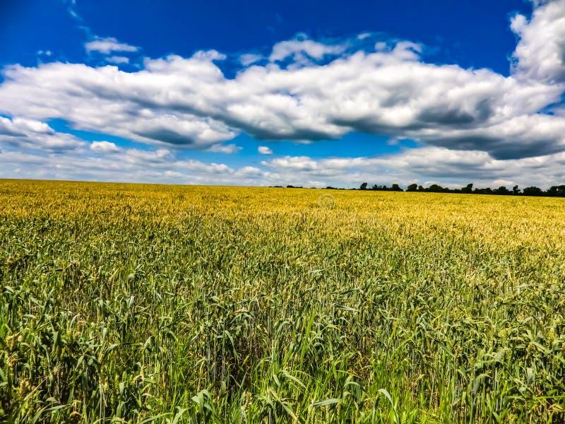 Пшеничное поле в Украине стоковые фото