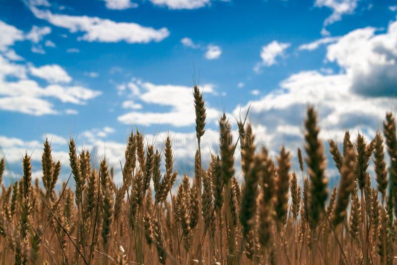 Пшеничное поле золота и голубое облачное небо стоковая фотография rf