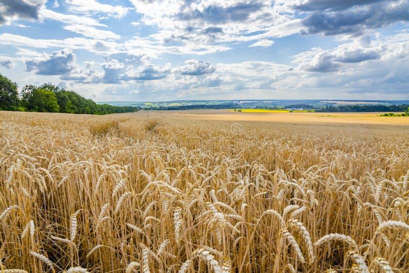 Пшеничное поле золота под красивым небом Уши золотого конца пшеницы вверх Красивая предпосылка bature Сбор сезона стоковое фото rf