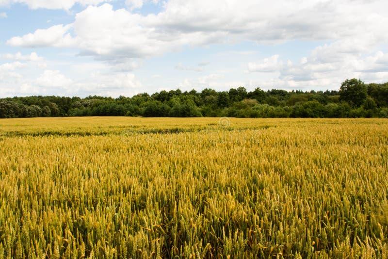 Пшеничное поле лета, голубое небо с облаками, предпосылка земледелия r стоковая фотография rf