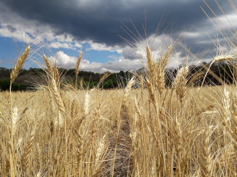 пшеничное поле стоковые фото