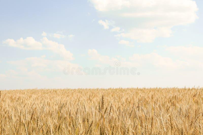 Пшеничное поле против пасмурного голубого неба стоковая фотография rf