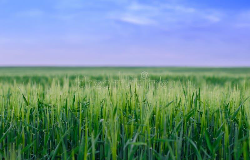 Пшеничное поле, Украина стоковые фото