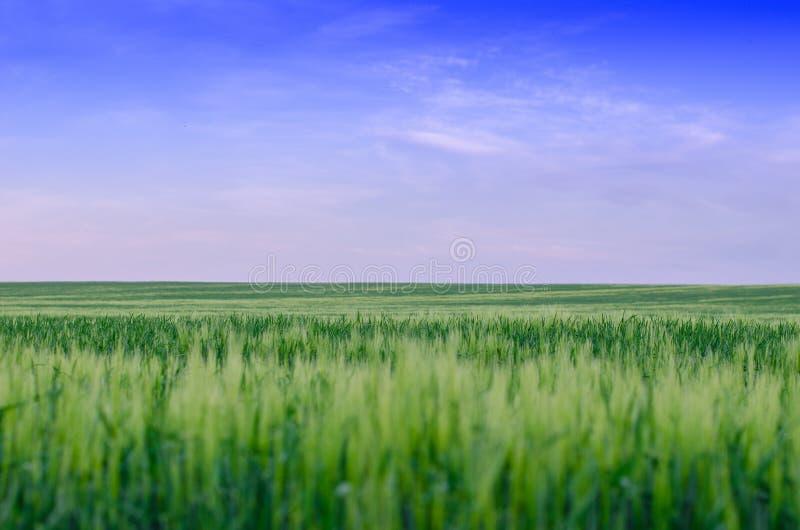 Пшеничное поле, Украина стоковые изображения