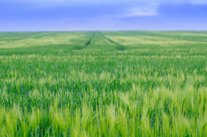 Пшеничное поле, Украина стоковое фото
