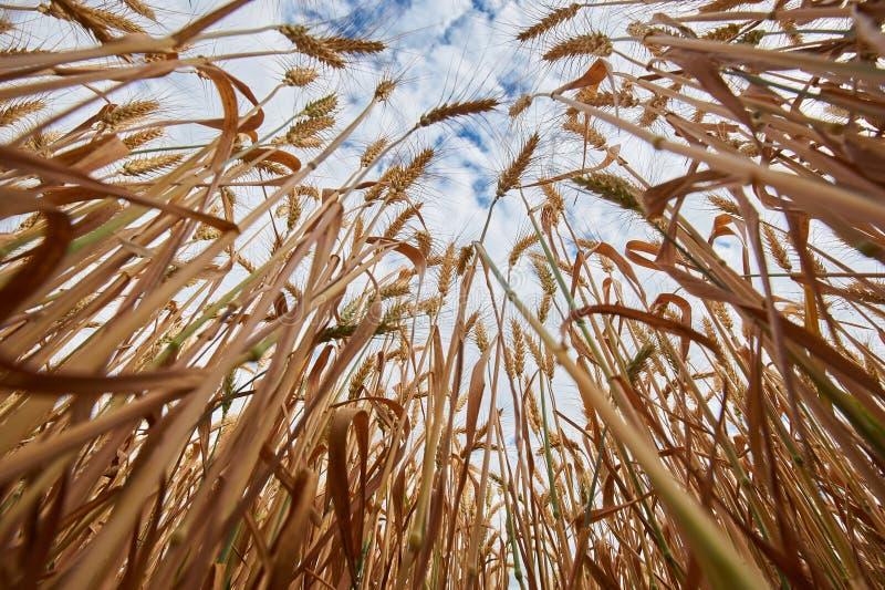 Пшеничное поле Уши золотого конца пшеницы вверх Предпосылка зрея ушей пшеничного поля луга Нижний поднимающий вверх взгляд стоковое изображение rf